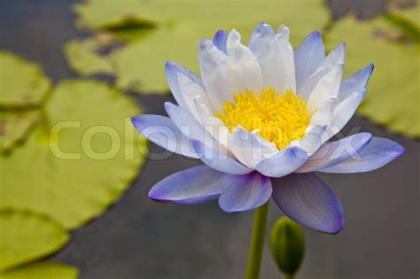water flower bloom water sparkle lotus flower water lotus blossoms or water flowers blooming on pond