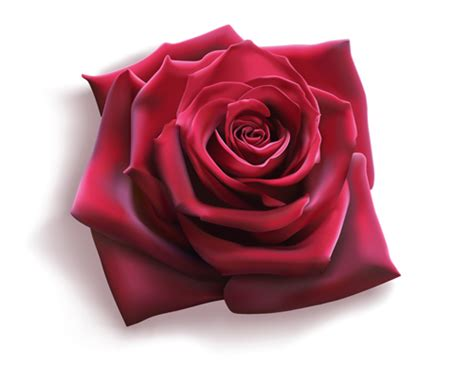 red rose illustration vector 03 vector flower free download