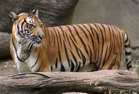 mp harimau 17 best images about big cats 2 on pinterest asiatic