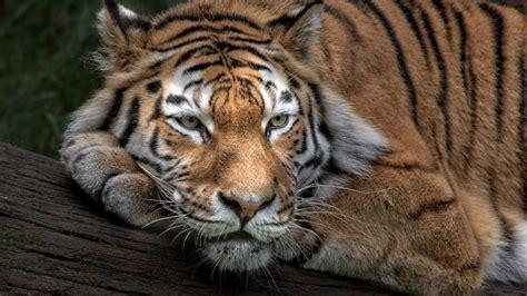 wallpaper siberian tiger amur tiger hd animals