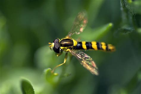 Hover Fly Beneficial Insect   Harvest to Table