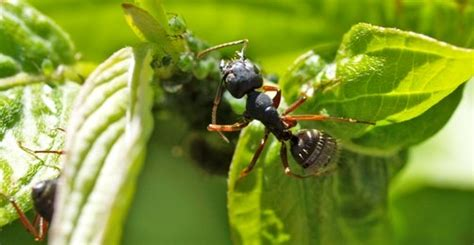 Ant Control In Garden Killing And Controlling Ants On Plants Ants In Vegetable Garden