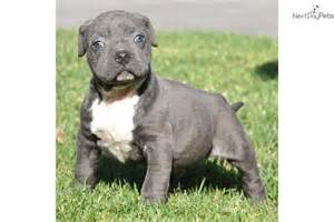 pits for sale near me blue nose pitbull puppies for sale near me