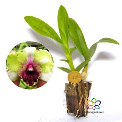 Anggrek Dendrobium Nopporn Pink 32 best images about orchidaceae on eye