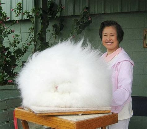 like a bunny the most fluffy bunny in the world looks like a gigantic