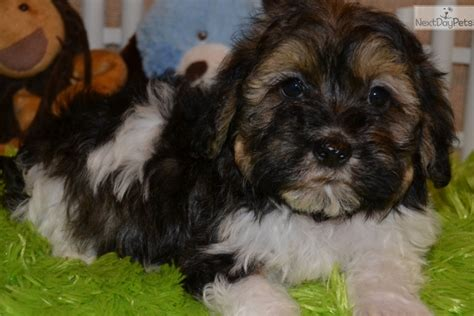 havanese puppies in missouri havanese puppy for sale near southeast missouri missouri 1784e0a1 dea1