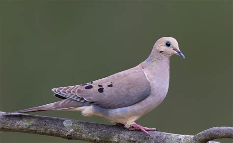 mourning dove pgt nature garden