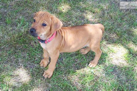 rhodesian ridgeback puppies price rhodesian ridgeback puppy for sale near east tx 32495423 a591