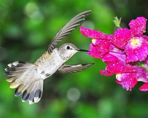 17 best images about humming birds on pinterest biology
