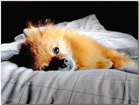 pomeranian bed pomeranian puppy comfortabe in bed jpg 1 comment