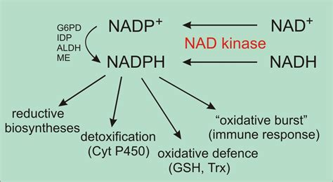 Nad Dose For Detox researchers at mbi discover why vitamin b3 is essential