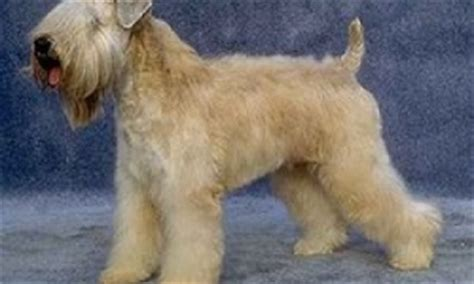 Breeds That Shed Less by Groncrin Breeds Allergiesinfobarrel