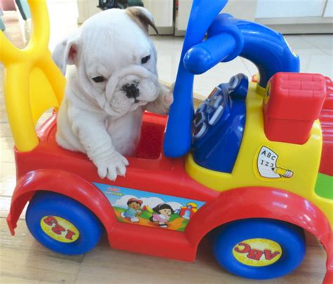 miniature bulldog puppies for sale nc mini bulldog puppies for sale in nc