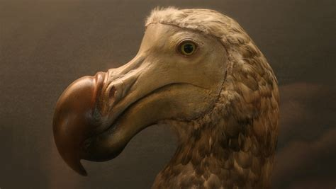 the dodo almost died off 4 000 years ago because of its