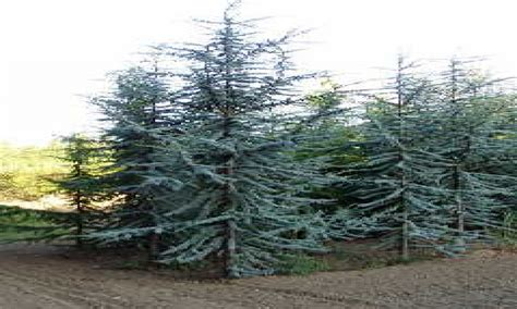 Blue atlas cedar, blue atlas cedar tree columnar blue atlas cedar. Interior designs