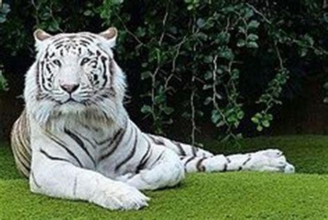 sognare una tigre in casa sognare una tigre significato sogni