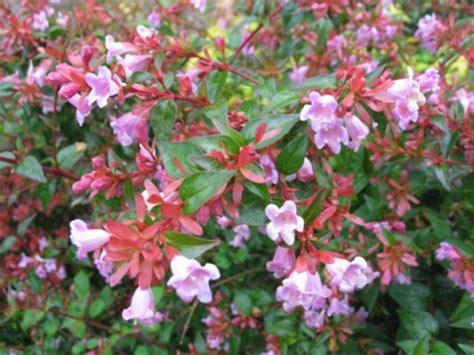 perennial flowering shrubs abelia edward gaucher evergreen perennial plant