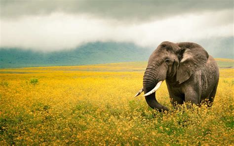 wallpaper 4k elephant elephant 4k wallpaper