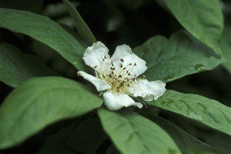 fiori di nespolo giardini