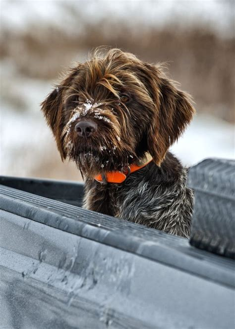 pointing griffon puppy 1000 ideas about wirehaired pointing griffon on german wirehaired pointer