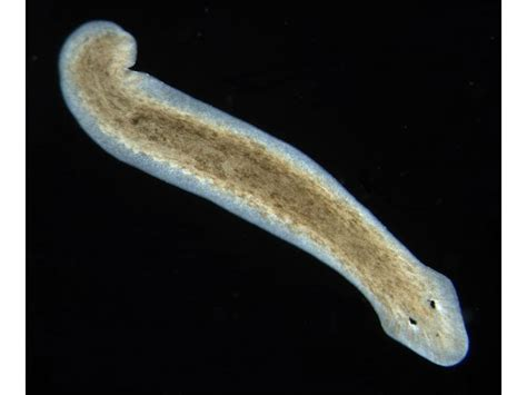 flat worms in flatworm in humans