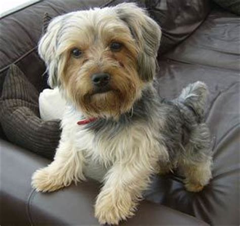 yorkie characteristics personality terrier the dogington post