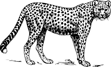 cheetah to coloring page 42 coloring pages cheetah to print gianfreda net