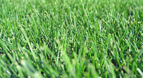 Grass Seed by Turf Type Fescue Grass Seed