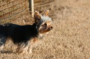 haired dorkie mixes chihuahua yorkie mix hd wallpaper animals wallpapers
