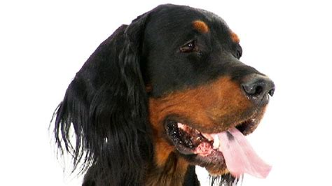 setter dogs 101 gordon setter dogs 101 animal planet