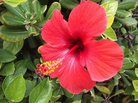 fiore ibiscus ibiscus piante da giardino come curare l ibiscus