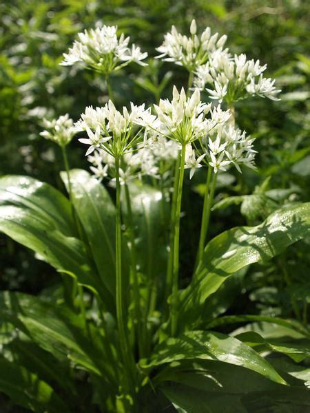 ramsons allium ursinum plantlife shop