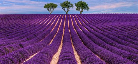 Bunga Lavender 81 11 taman bunga tercantik di dunia ini bakal bikin si doi