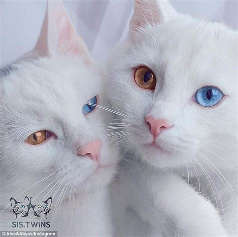 twin cats iriss and abyss the cats with blue and hazel eyes have own