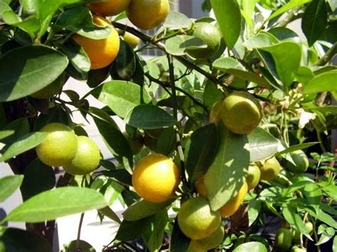 Benihbibitbiji Buah Jeruk Lemon Cui workshop of panjalu nursery macam macam jeruk