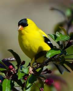 american goldfinch next door nature