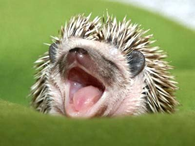 cute baby hedgehog smiling mthsecology hedge hog