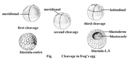 pattern formation in hibians cleavage and types frogs egg study material lecturing