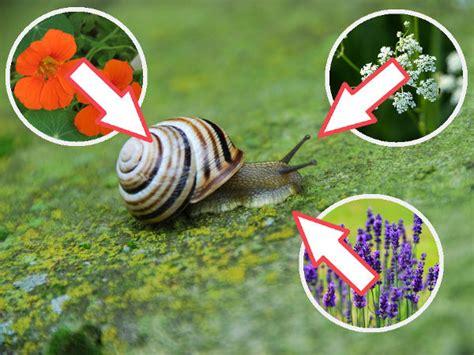 Schnecken Die Schnecken Fressen 5369 by Pflanzen Gegen Schnecken