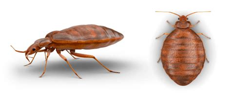 where do bed bugs hide on your body what do bed bugs look like expert help raid 174 brand sc johnson