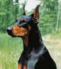 doberman facts and pictures