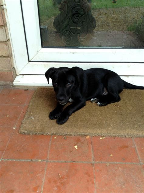 lab mix puppies for sale lab mix puppy for sale thetford norfolk pets4homes