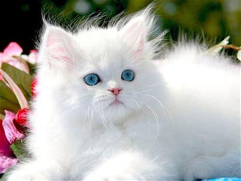Persian cat   Information, Characteristics, Facts, Names