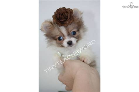 micro teacup pomeranian grown pin chion puppy on
