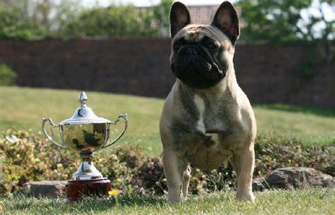 rottweiler breeders in scotland dersieger rottweilers uk breeder of rottweiler and