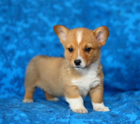 corgi puppies kansas city corgi puppies for sale in kansas breeds picture