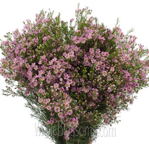 light pink wax flower buy pink wax flower at wholesale price wholesale flower