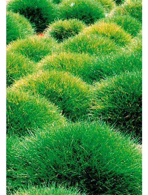 winterharte gräser garten b 228 renfellgras 3 pfl hagebau de