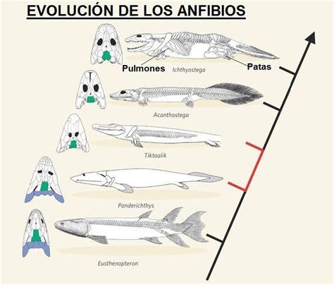 did 224 ctica de ciencias naturales los animales y su peligro dibujo de las etapas de desarrollo de anfibios