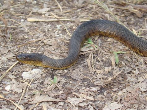 Bm Mocasin King mississippi green watersnake hibians and reptiles of